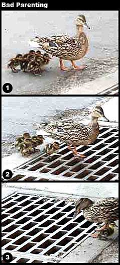 Duck walks babies over ope ngrate